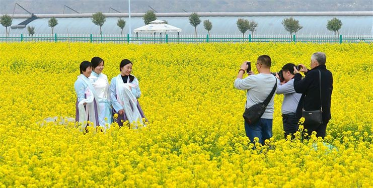 Cole flowers scenery in N China's Hebei