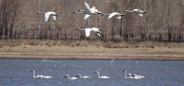 Large number of swans seen in wetland of north China