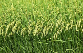 Chinese scientists discover gene helping rice adapt to cold climate