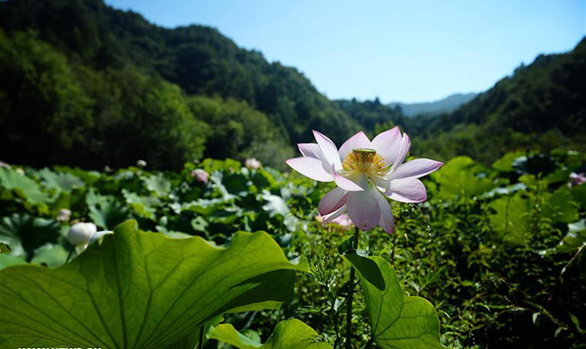 In pics: lotus flowers in Qinling Mountains, NW China's Shaanxi
