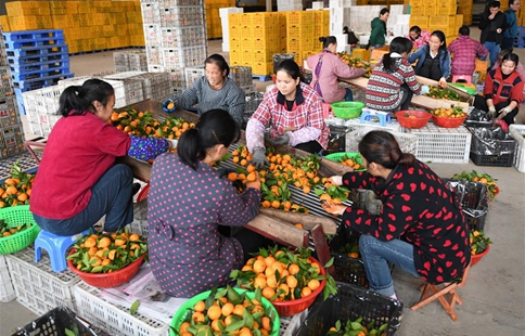 Fruit planting helps locals increase income in China's Guangxi