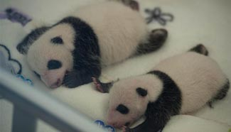 Macao's panda twins meet public one month after birth